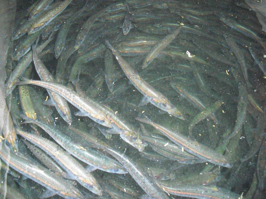 SGN第8回マグロ釣りチャーター 16